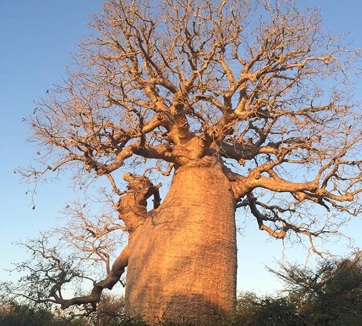 des espèces de baobabs sont disponibles à l'hôtel club mort du club