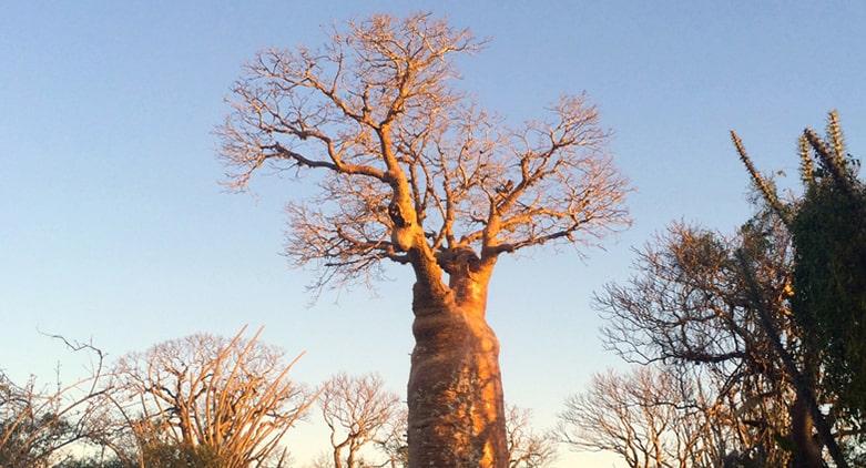 l'observation du baobab est incluse dans le divertissement du Bamboo club